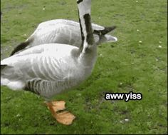 The goose who knows what he likes. | 33 Animal GIFs That Are Guaranteed To Make You Laugh @Heather Hauck