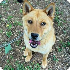 Williston Park, NY - Chow Chow Mix. Meet Buttercup, a puppy for adoption. http://www.adoptapet.com/pet/15747455-williston-park-new-york-chow-chow-mix