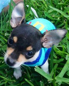 Dressed Chihuahua image via www.Facebook.com/CuteChihuahuaFans
