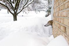 Greyhound, white snow by Dave Engledow on Fotoblur
