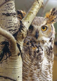 Great horned owl. Photo credit: Tim Fitzharris