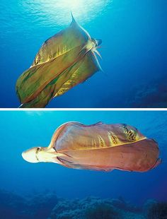 The Blanket Octopus: Using stolen venomous tentacles as weapons