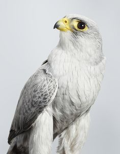 """** """"Der be noes such thing az too many falcons. Don'ts falconize me."""""""