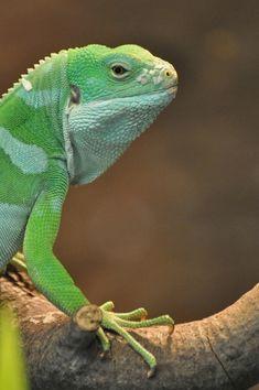 Fiji island iguana