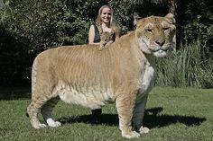 Se llama Hércules y es el felino vivo más grande (es un ligre: cruce entre un león y una tigresa) pic.twitter.com/k0vsdtrPyEFilm & TV http://www.amazon.co.uk/DVD-Offers/b/ref=amb_link_174079207_10?ie=UTF8&node=655852&pf_rd_m=A3P5ROKL5A1OLE&pf_rd_s=left-2&pf_rd_r=07G805586877FAXC9GN4&pf_rd_t=101&pf_rd_p=501438767&pf_rd