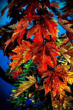 Fall Reds by Robert Bales