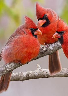 Cardinals by Bonnie Barry