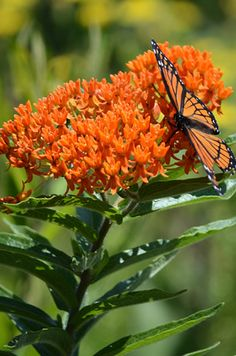 Asclepias tuberosa (Butterfly Weed)2', dry to medium, full sunjune july aug