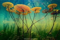 #Repost  @natgeo Photo by @FransLanting Lilies of the Desert  I slipped into a clear lagoon in Botswanas Okavango Delta to photograph a patch of water lilies anchored in desert sand. To me these lilies symbolized the essential wonder of the Okavango Delta: This great wetland with its abundance of life is really just a thin sheet of water stretched across the Kalahari Desert. I share this image in memory of Bill Garrett the former Editor in Chief of National Geographic Magazine who gave me…