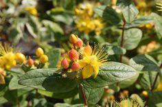 HYPERICUM inodorum MAGICAL ® Beauty 'Kolmbeau' Plants, Beauty, Plant, Planting, Planets