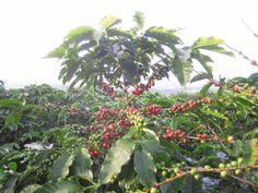 Hacienda Sonora - Costa Rica