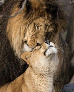 The Barbary lion (Panthera leo leo) Animals And Pets, Baby Animals, Cute Animals, Image Lion, Beautiful Cats, Animals Beautiful, Big Cats, Cats And Kittens, Lion Couple