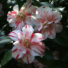 Camellia 'Candy Stripe'