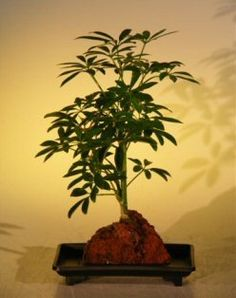 Bonsai Boy's Hawaiian Umbrella Bonsai Tree - Small - In Lava Rock arboricola schefflera 'luseanne', 2016 Amazon Hot New Releases Fresh Flowers & Live Indoor Plants  #Grocery