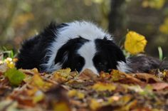 Country Border Collie Taking it Easy on a Fall Day.