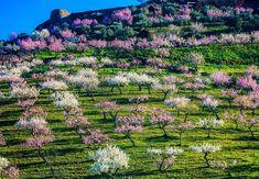Parecem flocos de neve e povoam o país de norte a sul. E encerram uma história de encantar... descubra a lenda das amendoeiras em flor.