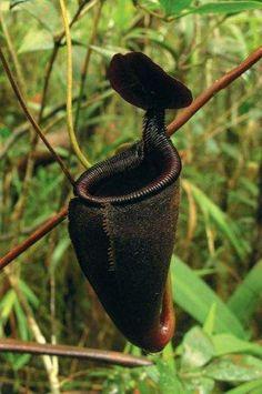 Nepenthes+leonardoi