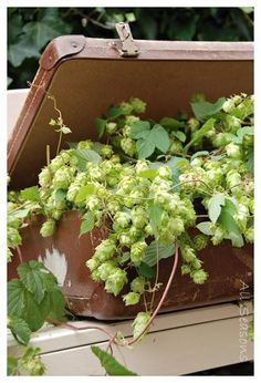 vintage suitcases and plants = genius Container Gardening, Gardening Tips, Hops Plant, Plantation, Cut Flowers, Summer Flowers, Dream Garden, Yard Art, Vintage Flowers