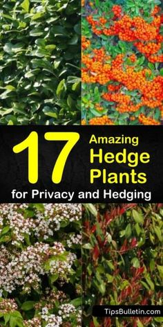 Discover the best hedge plants for your back yard with this guide to planting privacy screens. With flowering shrubs and evergreen trees, this list has all the inspiration you need to making your landscaping ideas a reality. Fast Growing Privacy Shrubs, Shrubs For Privacy, Privacy Screens, Evergreen Shrubs, Deciduous Trees, Trees And Shrubs, Growing Herbs In Pots, Fast Growing Plants, Hedging Plants