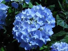 cornflower blue hydrangea bridesmaid bouquet