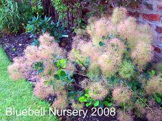 Image result for young lady dwarf green smoke bush Front Gardens, Low Maintenance Garden, Drought Tolerant, Dwarf, Yard Ideas, Shrubs, Duke, Porn, Trees