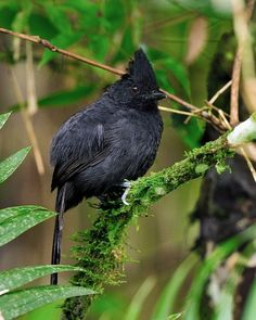 The Tufted Antshrike (Mackenziaena severa) is a species of bird in the Thamnophilidae family. It is found in Argentina, Brazil, and Paraguay. Its natural habitats are subtropical or tropical moist lowland forests, subtropical or tropical moist montane forests, and heavily degraded former forest. (foto Luiz Ribenboim)