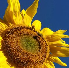 Sunflower  busy bees Busy Bee, Sunflowers, Bees, Plants, Wood Bees, Flora, Plant, Sunflower Seeds, Planting
