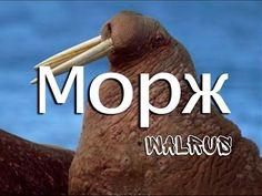 Морж — Walrus