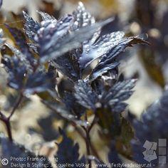 Zilverkaars 'BLACK NEGLIGEE' - Cimicifuga simplex 'Black Negligee', ondeugende, spannende naam ;-) voor deze herfstbloeier met (bijna) zwart blad.  -------------- Black leaves of 'Cimicifuga (actea) simplex 'Black Negligee'. Naughty name ;-) for this stunning perennial.   #tuinontwerp #stadstuin #tuin  #gardendesign  #...