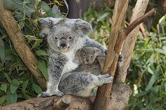 #Koala & Joey