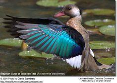Brazilian Duck or Brazilian Teal (Amazonetta brasiliensis)