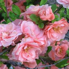 David Austin Roses, Plants, Wallpapers, Flowers, Pictures, Plant, Planets