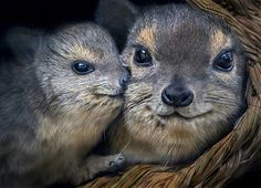Happy hyraxes | by Stinkersmell Hyraxes, also called dassies, are small, thickset, herbivorous mammals in the order Hyracoidea. Hyraxes are well-furred, rotund animals with short tails. Typically, they measure between 30 and 70 cm long and weigh between 2 and 5 kg