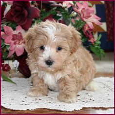 Elise's Maltipoo puppies from the puppy specialists of mixed breed puppies. We are dog breeders raising happy, healthy puppies. Maltipoo Puppies For Sale, Cute Puppies, Mixed Breed Puppies, Best Small Dogs, Dog Breeders, Puppys, Doggies, Leo, Cute Animals