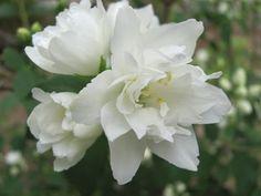 Sunday, June 27, 2010 Mock Orange is Blooming
