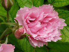 Pink Grootendorst est un rosier arbustif vigoureux, bien touffu, au feuillage très sain de rugosa, exempt de maladies. Ses petites fleurs doubles, rose frais se succèdent tout l'été. Une résistance à toute épreuve. Pour accompagner 'F.J. Grootendorst' et 'White Grootendorst'. Hybride de rugosa. Grootendorst, 1923.