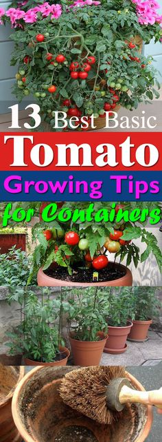 Learn these 13 basic Tomato Growing Tips for Containers to grow the best red and juicy, plump tomatoes in pots!