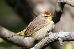 Palm Warbler (photo by Kerry Sehloff)
