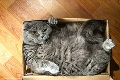 fat cat in box meme funny I haven't gained weight the box shrunk Imgur it's a trap