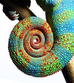 Chameleon Tail by Mark Laita