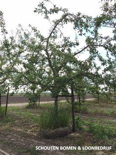 Oude hoogstam appelboom uit het assortiment van Schouten Bomen & Loonbedrijf Plants, Plant, Planets