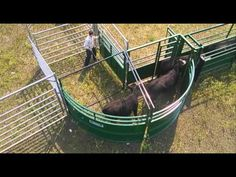 Low-stress cattle handling made EASY, with help from the Lakeland Group! - YouTube