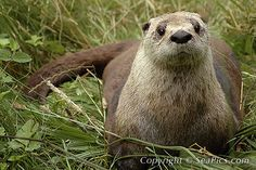 North American River Otters is a member of the weasel family. It was one of the most widely distributed mammals in its native region of North America. Adorable Cute Animals, Animals Beautiful, Otter Love, Habitat Destruction, River Otter, Brown Bear, Otters, Picture Photo, Mammals
