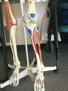 Anterior lower limb