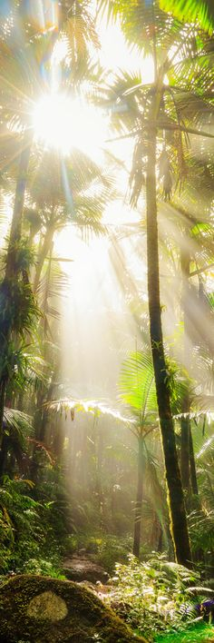 El Yunque National Forest #by admin #tree nature landscape sun sunlight amazing palms