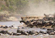 Safari - WIELKA MIGRACJA Kenia - Sonriso   Travel in Style Jednym z najwspanialszych spektakli przyrody, jakie zobaczyć można w Afryce, jest wędrówka stad gnu w poszukiwaniu świeżej trawy, nazywana Wielką Migracją. Widok niemal półtora miliona antylop oraz towarzyszących im tysięcy zebr wspólnie przemierzających szlak między Serengeti a Masai Marą jest zawsze przeżyciem nieomal mistycznym. Natomiast pobyt na białych plażach Kenii gwarantuje wypoczynek w najlepszym tego słowa znaczeniu.