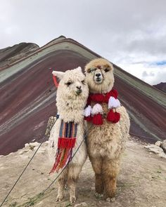 Just two alpacas chilling at the mountain of 7 colors, Peru Cute Funny Animals, Cute Baby Animals, Farm Animals, Animals And Pets, Cute Dogs, Alpacas, Cute Creatures, Beautiful Creatures, Animals Beautiful
