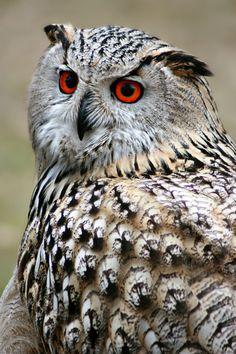 Beautiful owl and it's feathers Pinned by www.myowlbarn.com