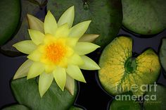 'Yellow Water Lily' by Layla Alexander is available as prints, cards and throw pillows in various sizes. The FAA watermark does NOT appear on the actual print.