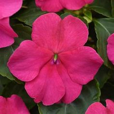 Check out the deal on Impatiens Beacon Rose 30 seeds at Hazzard's Home Gardener Yellow Flowers, Colorful Flowers, Beautiful Flowers, Landscape Elements, Summer Plants, Small Space Gardening, Spring Blooms, Shade Plants, Types Of Plants